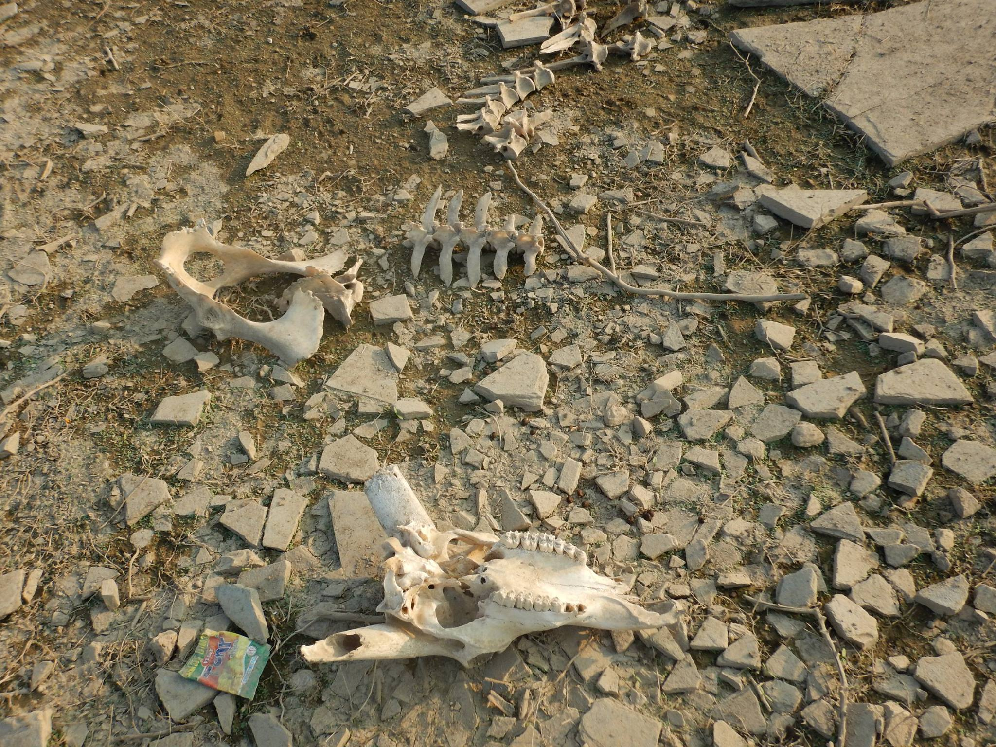 More Cattle Skeleton in the ghost town